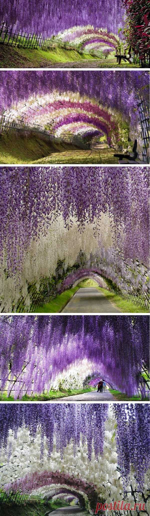 Тоннель из цветов! Висячий сад цветов Кавати Фудзи, Япония