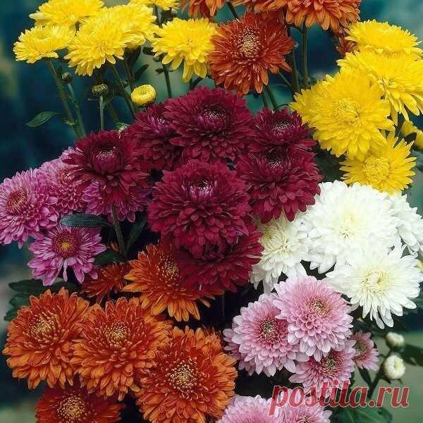 Хризантемы садовые многолетние: сорта, фото