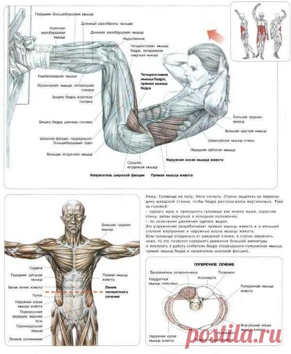 ПРЕСС. Подъемы туловища у гимнастической стенки. Упражнение направлено на проработку прямых мышц живота (на них приходится основная часть нагрузки) и в меньшей степени – наружных и внутренних косых мышц живота.
