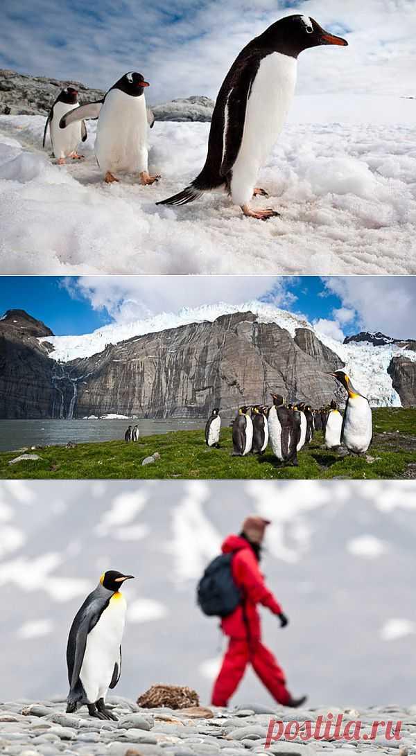 » Фото пингвинов от Ника Гарбутта Это интересно!
