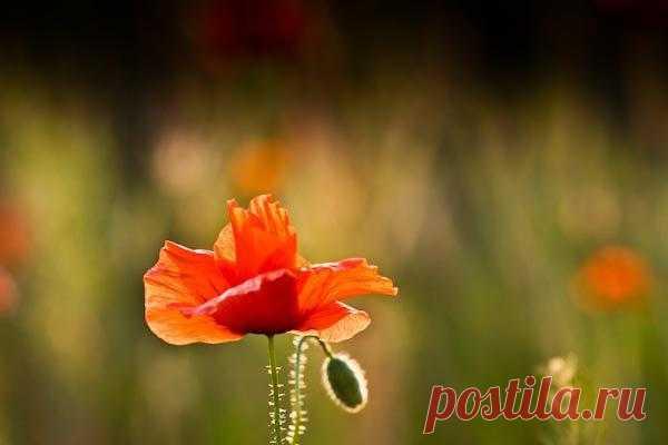 Постеры цветы / Маки — Красный мак