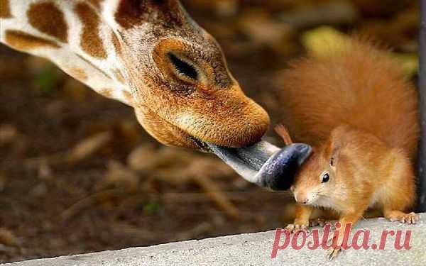 Нежное фото: чем-то приглянулась жирафу эта рыжая красотка!:)