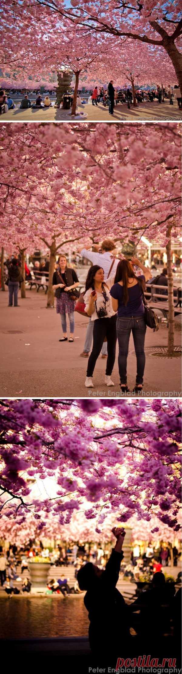 Неописуемая красота. Цветение сакуры в Королевском саду в центре Стокгольма, Швеция