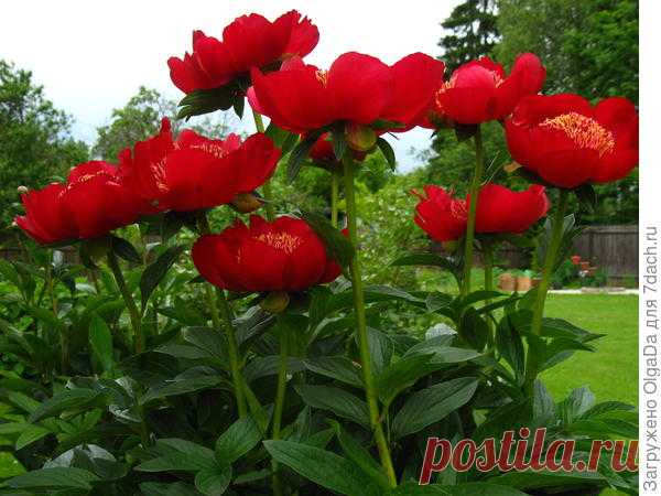 О травянистых пионах – часть 3