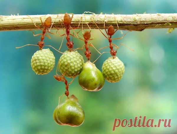 Муравьи держат семена. Фото-победитель конкурса журнала «Smithsonian Magazine's»
