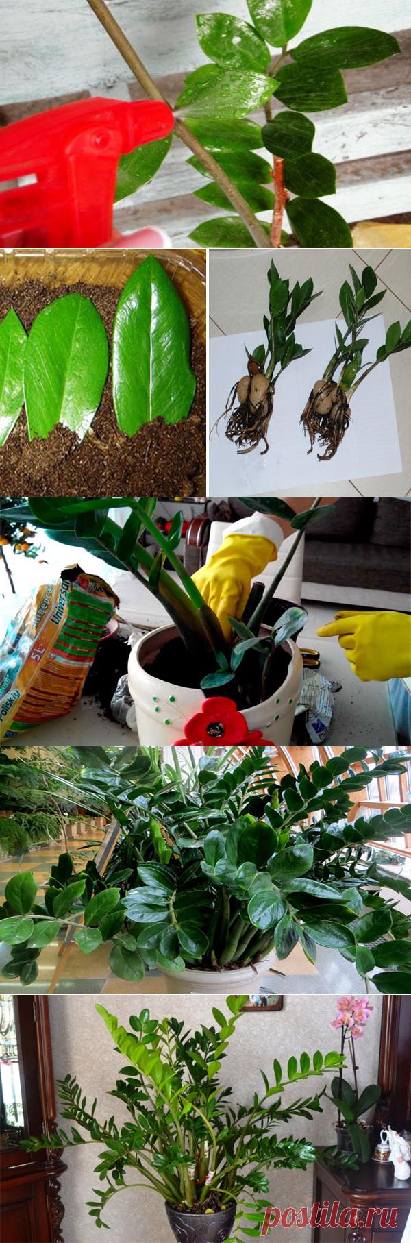 Долларовое дерево (Замиокулькас): уход в домашних условиях, размножение