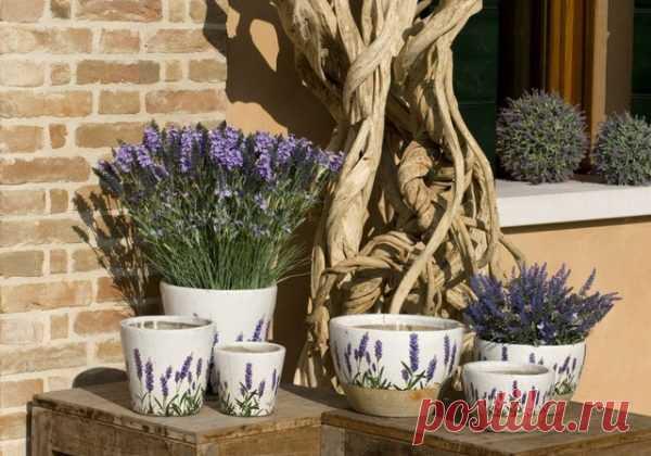 Лаванда на балконе: посадка, выращивание и уход своими руками | Obustroeno.Com