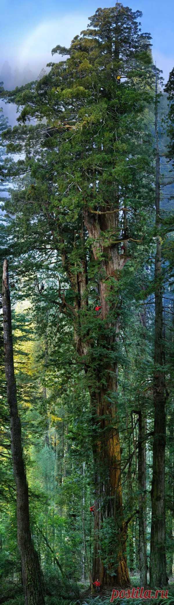 Деревья великаны. Мамонтово дерево. Калифорния, США
