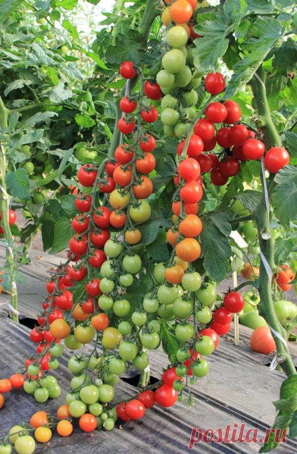 очередной раз томат сорта помисолька описание ней