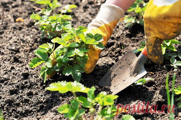 Пересаживаем клубнику осенью или весной? | Собирай урожай | Яндекс Дзен