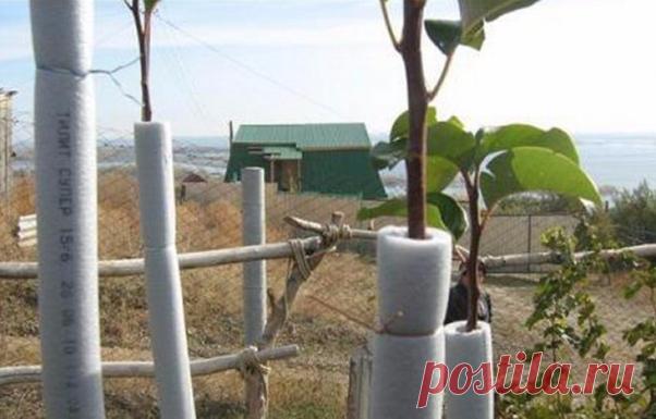 Утепляем деревья на зиму | Собирай урожай | Яндекс Дзен