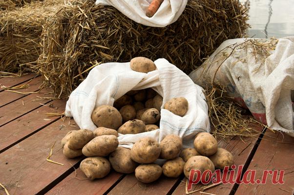 Как хранить картофель   Собирай урожай   Яндекс Дзен