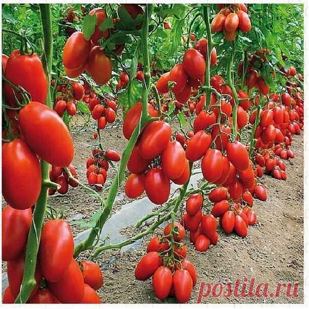Небольшие хитрости при посадке томатов, для хорошего урожая. 1. Чтобы у томатов лучше и быстрее появились плоды, при цветении их опрыскивают борной кислотой в расчете 5гр на 10л.воды. 2. За 2-3 дня до высадки в грунт рассады томатов у рассады срезают нижние 2-3 листочка. 3. Чтобы плоды были крупнее и сильнее в лунку при посадке можно добавить немного древесной золы. 4. Рассаду помидоров поливают раствором йода для более быстрого роста ( 1 капля на 3 л. воды).После применен...