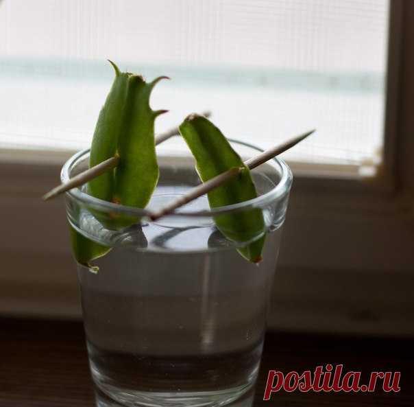 Как вырастить цветок декабриста из отростка :: как вырастить цветок из отростка :: Цветоводство