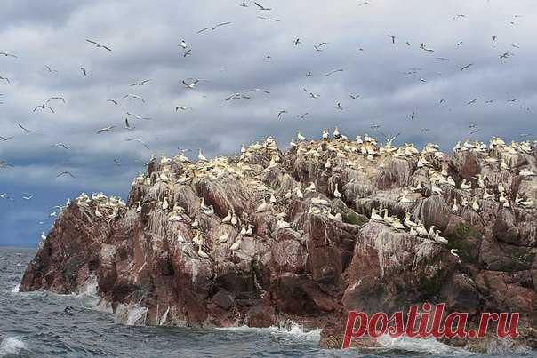 Одиннадцать тысяч друзей олуши. Скала Басс-Рок, Шотландия. Автор фото – Ольга Тарасюк: nat-geo.ru/photo/user/298392/