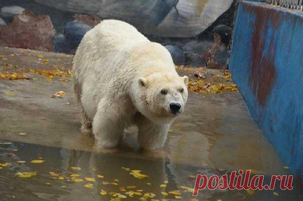 En febrero el parque zoológico De Perm se ha despedido de un de los símbolos – Amdermoy. Estamos tristes y contamos la historia de la osa viejísima blanca de Rusia.