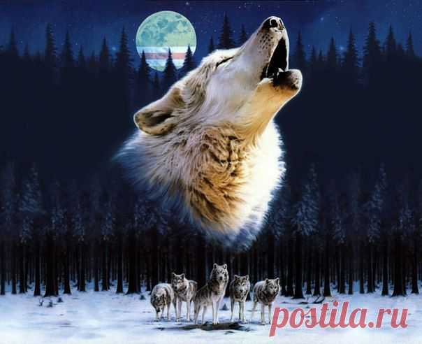 Wolves-strong, beautiful and dangerous animal.