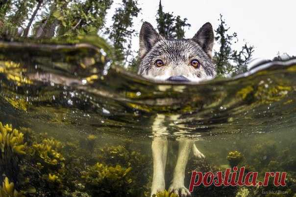 Very abrupt photos of the wolves living in water. Yes, and such happen. But in an aquarium you will not lodge them