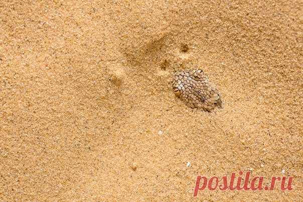 «Лазутчик». – Песчаный удавчик очень ловко зарывается в песок. Хищника выдают только глаза и ноздри, – рассказывает автор фото Станислав Шинкаренко: nat-geo.ru/photo/user/16509/