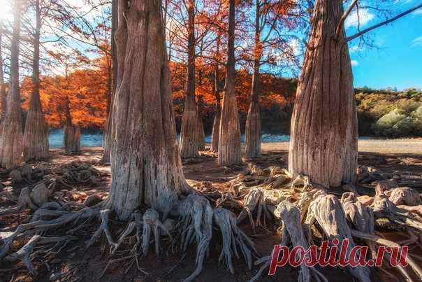 «Оживший лес» Болотный кипарис в долине Сукко, Анапа. Снимал Павел Сагайдак: nat-geo.ru/community/user/27069/