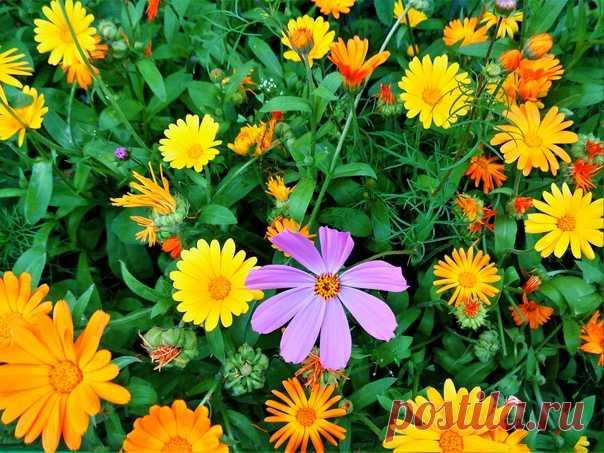 Что за странные цветки - под названьем ноготки? Так похожи на ромашки,все в оранжевых рубашках ))☀🧡💛