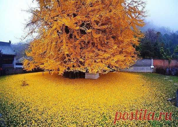 El árbol de 1400 años ginkgo ha transformado el patio del templo budista en el océano amarillo.