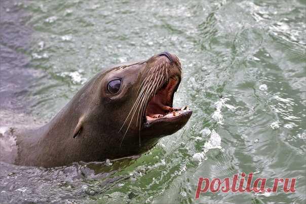 Морские львы кажутся людям милыми и безобидными — и совершенно напрасно. Очередное доказательство поступило из Канады.