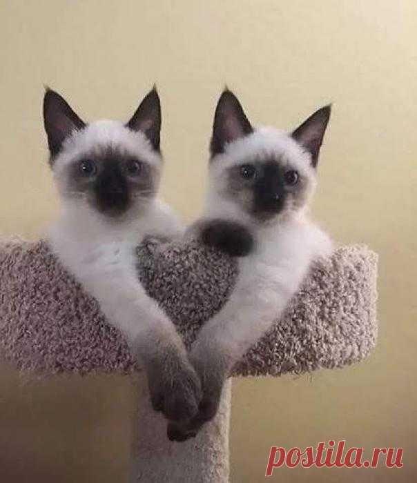 Сиамские близнецы