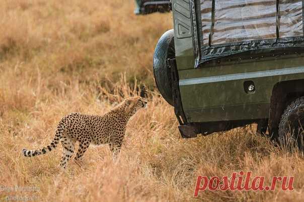Молодой гепард с любопытством изучает машину туристов. Фотографировала Olgapetrusha_traveler: nat-geo.ru/photo/user/345475/