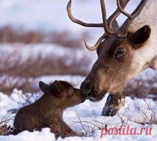 Новорожденный северный олень