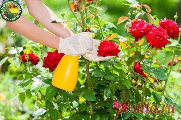 Как защитить розы в разгар лета - подсказки, советы  Середина лета славится пышным цветением роз. Белые и нежно-розовые, алые и желтые – буйство красок и ароматов радует глаз и согревает душу. Но во второй половине лета розовые кусты начинают ослабевать, и тут их подстерегает множество неприятностей.  Уберечь наших любимиц от напастей и вредителей вполне по силам даже не очень искушенному цветоводу; нужно лишь не забывать о нескольких простых приемах.  Возьмите за правило ...