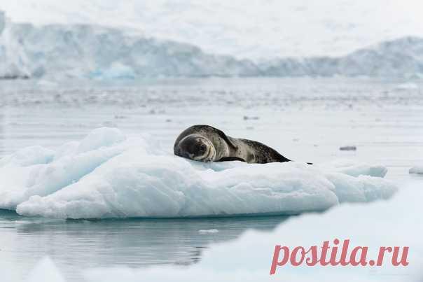 Морской леопард задремал во льдах Антарктиды. И вам доброй ночи 🌙 Автор фото – Татьяна Дударенко: nat-geo.ru/community/user/214584/