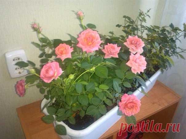 Как правильно выращивать капризную комнатную розу? Фото нашей подписчицы Натальи Малковой. На 8 марта вам подарили комнатную розу и вы не знает как за ней ухаживать, информируем!!!   РАЗМЕЩЕНИЕ: Розе требуется очень яркое освещение. При коротком дне используют подсветку. Подойдут юго-восточ…