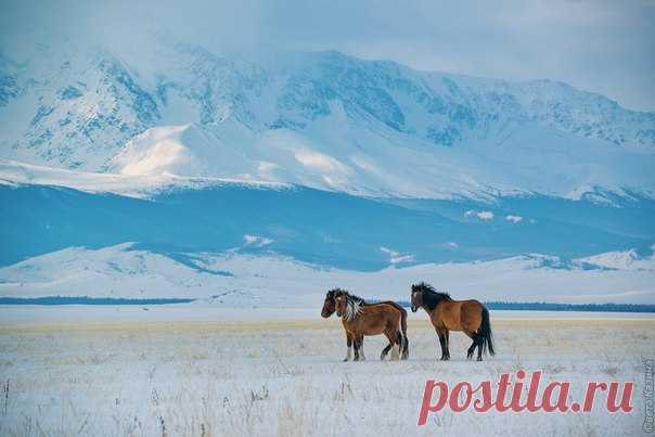 """Тебенёвка у Северо-Чуйского хребта, Горный Алтай. «Термин """"тебенёвка"""" происходит от киргизского """"тебень"""", что означает зимнее пастбище. В зимнее время года лошади могут копытить, то есть выкапывать траву из-под снега. Такой вид пастьбы доступен в Горном Алтае потому, что у нас, как правило, ложится не слишком много снега. Чтобы достать из-под снежного пласта траву, лошадь откапывает снег копытом передней ноги. Тонкий наст не является помехой для лошадей в отличие от…"""