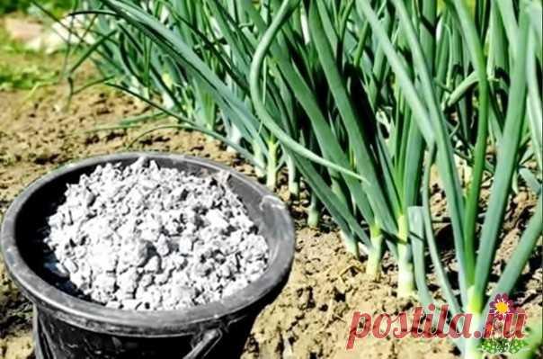 Χороший уpoжай чeснока и дрeвeсная зола