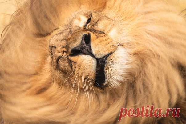 Левоворот 🦁 Катангский лев – подвид, отличающийся более светлой гривой. Фото Натальи Бубочкиной (nat-geo.ru/community/user/229165/).