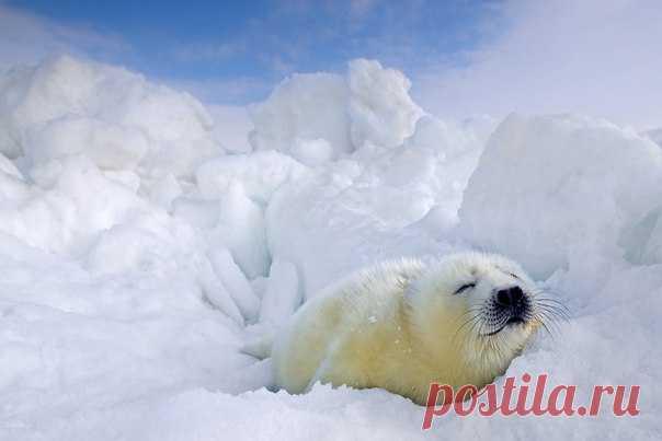 Сладкий сон малютки белька. Белое море. Автор фото – Сергей Анисимов: nat-geo.ru/photo/user/24100/