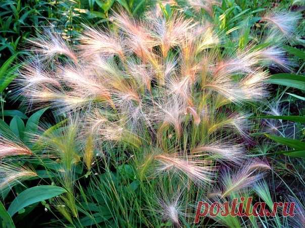 Радужный гривастый ячмень)))☀💗🌱