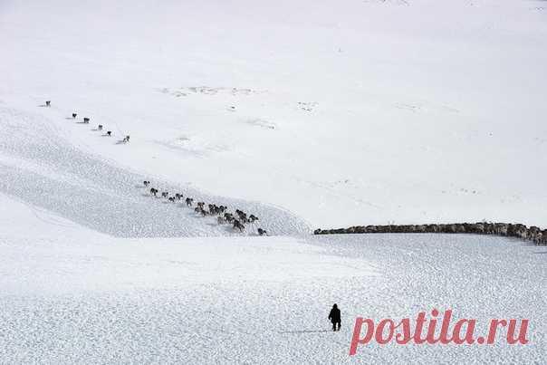 «Под музыку вечности белой...» Перегон стада северных оленей на Полярном Урале глазами Светланы Горбатых (nat-geo.ru/photo/user/29097/).