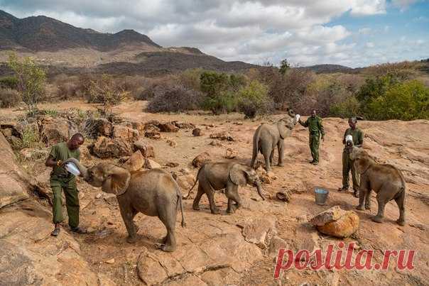 Эта фотоистория об осиротевших слонятах, ради спасения которых объединились представители разных народов Кении, заняла первое место место в номинации «Природа» на фотоконкурсе World Press Photo.