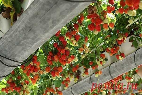 Клубника с неба    Клубнику можно выращивать не только на грядках, но и в горшках, и в подвесных корзинах. Узнайте, какие виды сортов подходят для вертикального выращивания. Все знают, что клубника растет на грядках.…
