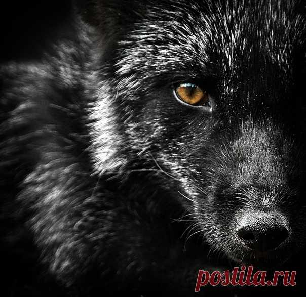 Black fox. The author of a photo is Oleg Bogdanov: nat-geo.ru\/photo\/user\/163766\/