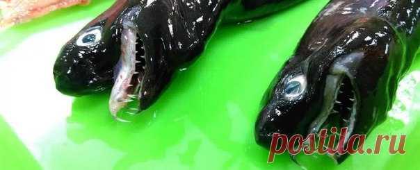 Змея или рыба? Увидеть акулу-гадюку – большая редкость. Недавно несколько таких акул попали сначала в сети рыбаков, а потом и в руки ученых.