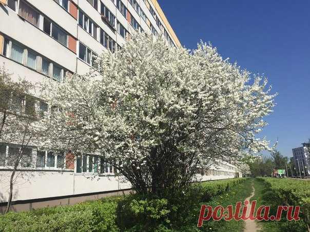 Дождались Санкт -Петербург у нас царствуют белоснежные вишни !!!
