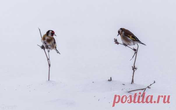 «И скуден зимний наш обед» Голодные щеглы заняты добычей пропитания. Снимал Александр Круль: nat-geo.ru/community/user/182616