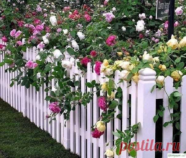 Метод омоложения роз