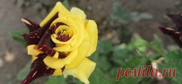 Mutant rose 💝💛