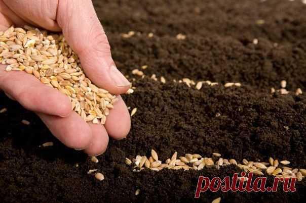 Применение борной кислоты при посадке семян.  Предпосевная обработка семян борной кислотой– замачивание семян в растворе борной кислоты, приготовленном из расчета 0,2 гр препарата на 1 л воды (или -2 гр. борной кислоты на 10 л. воды.)– оказывает положительное влияние на прорастание семян. Можно использовать вместе с другими микроэлементами. Семена моркови, томата, лука, свеклы замачивают на 1 сутки, капуста, огурцы, кабачки на 12 часов. Показать полностью...