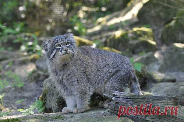 The Saylyugemsky park in Altai will become World War I by the platform on studying of manul.