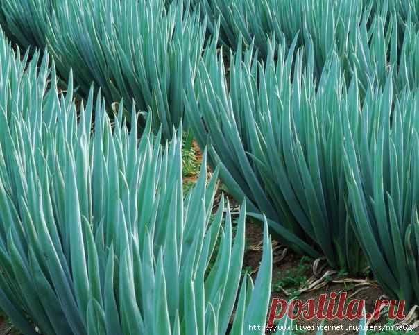 Как вырастить хороший урожай лука? 10 секретов ухода за луком.